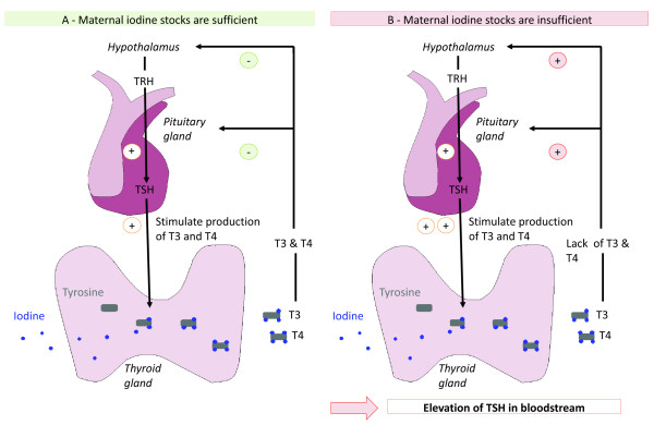 High Thyroid Stimulating Hormonal Agents on Little Blood Vessels